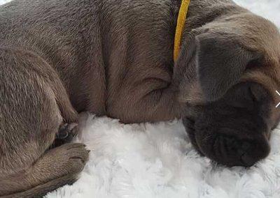 Photo of puppy sleeping on soft fuzzy white carpeting