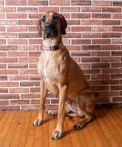 Photo of Lucy sitting on hardwood floor in front of brick wall